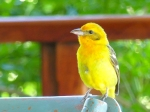 Flame-colored Tanager, f.
