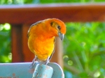 Flame-colored Tanager, m.